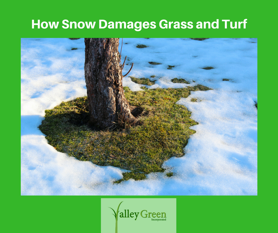 how snow damages grass and turf