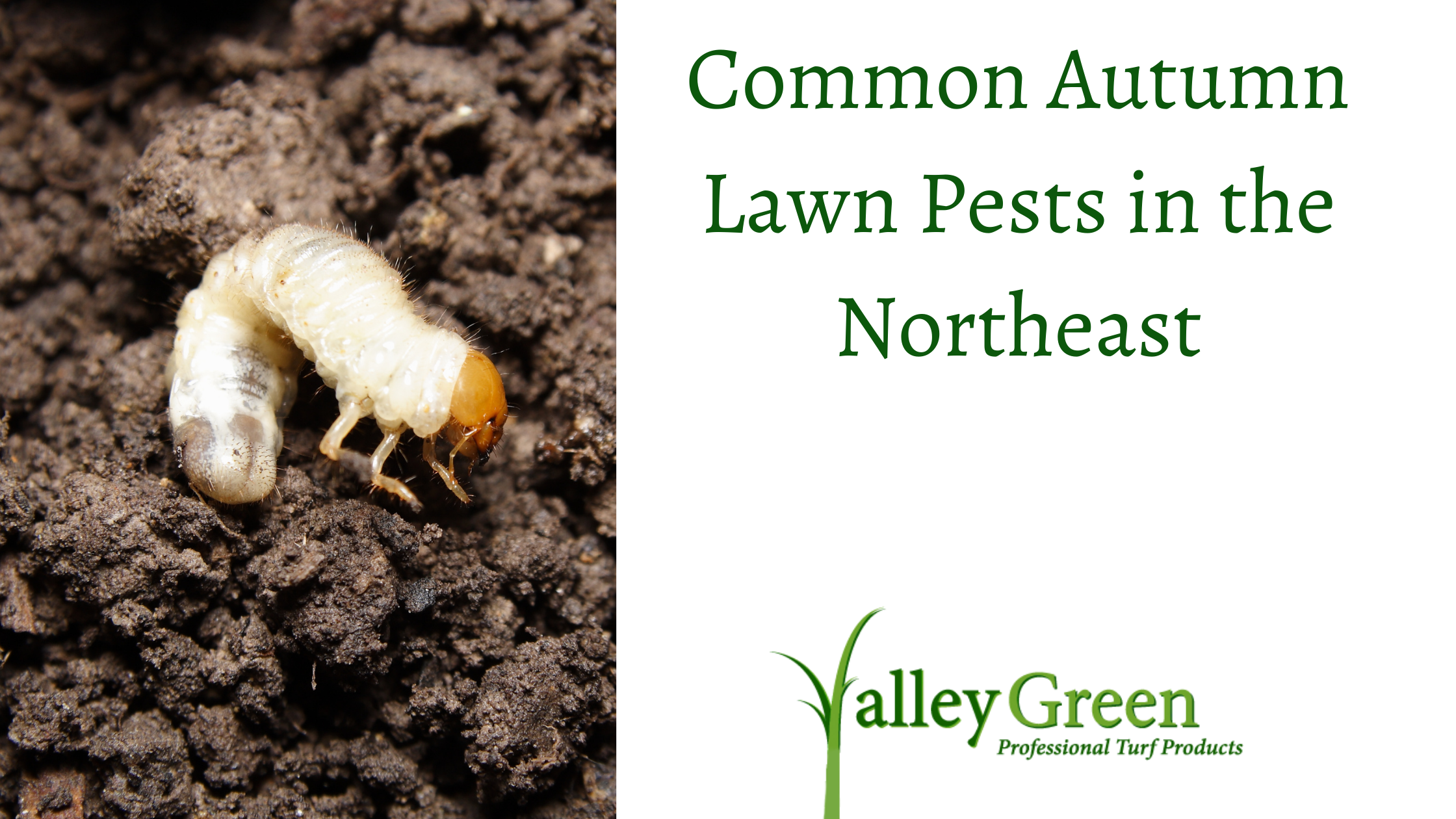common autumn lawn pests