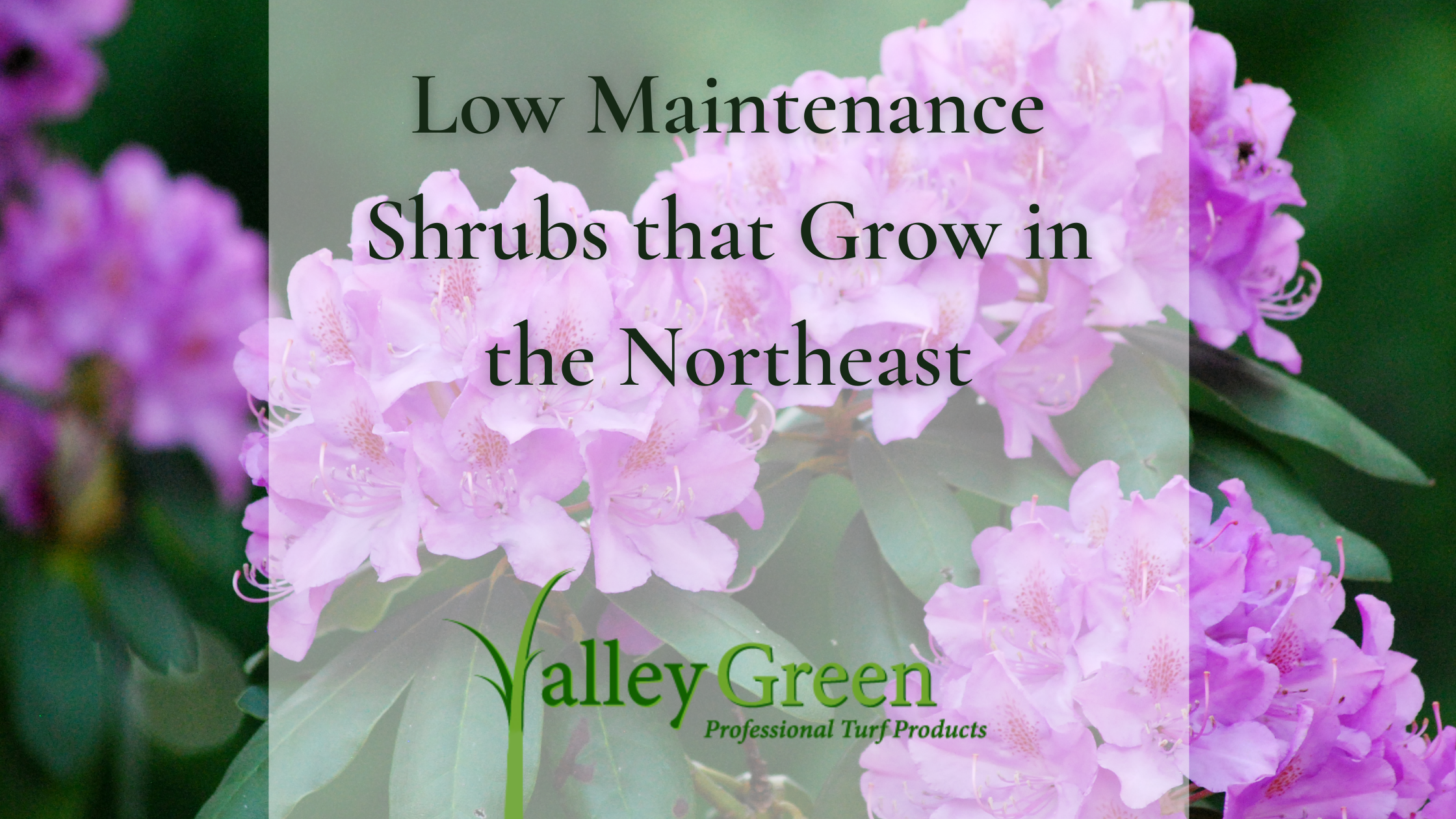Low Maintenance Shrubs that Grow in the Northeast